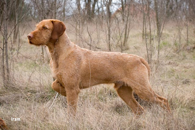 Do Wirehaired Vizslas Shed Do Hungarian Wirehaired